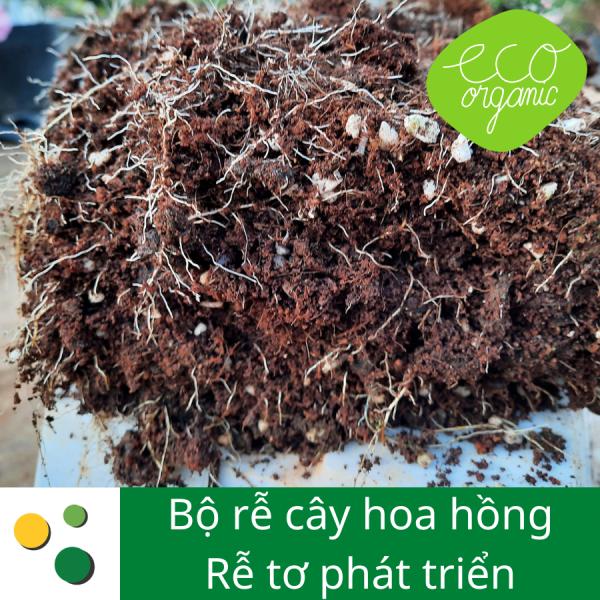 Phân bón hữu cơ eaco root sử dụng cho bộ rễ cây hoa hồng phát triển