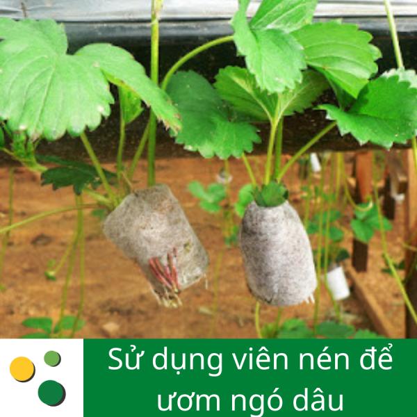 Viên nén sơ dừa nhân giống ngó dâu tây tại Đà Lạt
