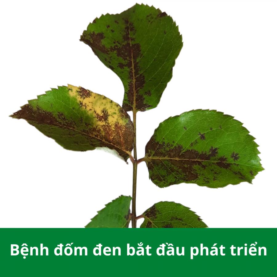Bệnh đốm đen xuất hiện trên cây hoa hồng giai đoạn phát triển mạnh
