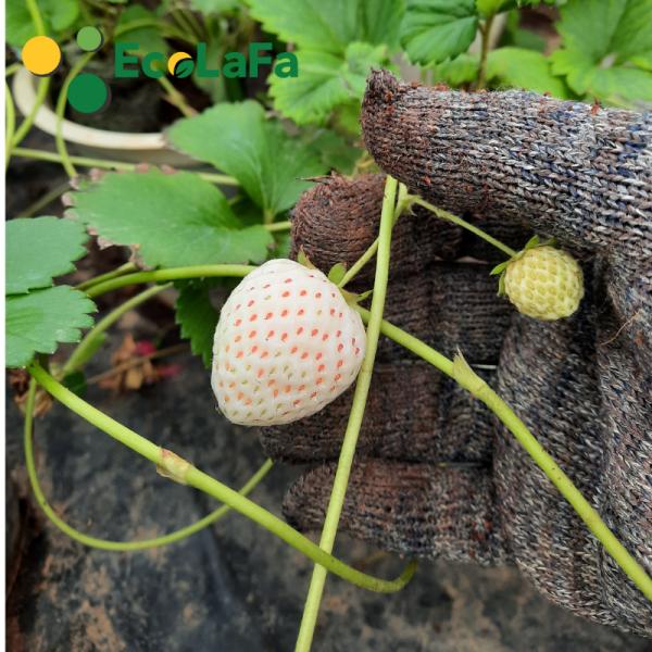 Giống dâu tây bạch tuyết được trồng và nhân giống từ cây cấy mô