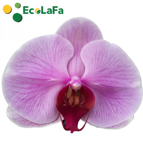Hoa lan hồ điệp màu hồng - ecolafa