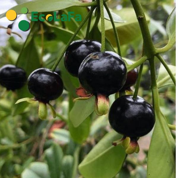 Cây cherry brazil trai chùm chín màu đen, cây ra nhiều trái