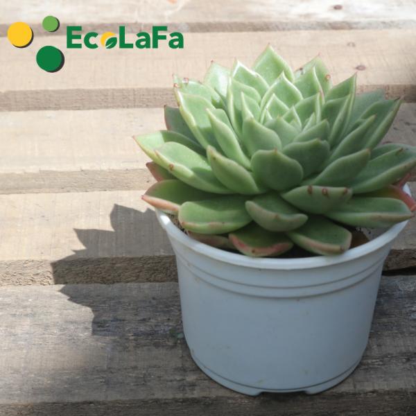 chậu trồng sen đá Ecolafa