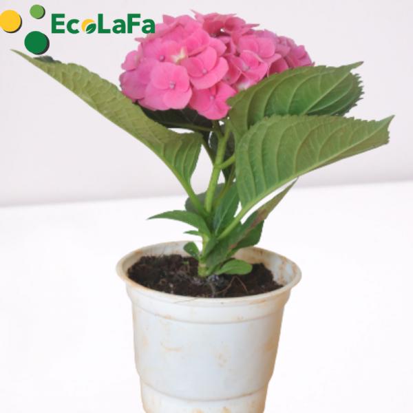 Sử dụng để trồng cây cẩm tú cầu