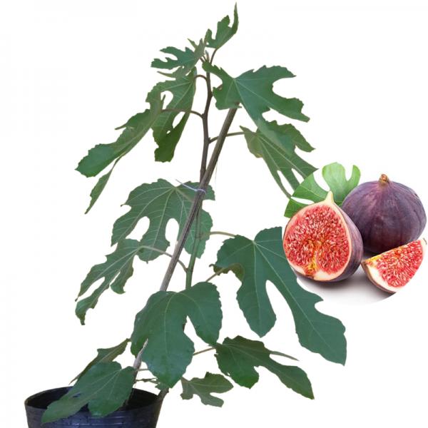 cây sung mỹ Violette De Bordeaux