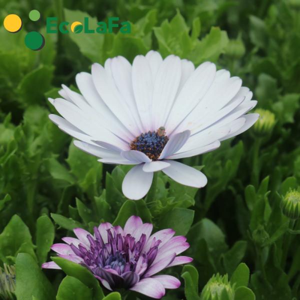 Hoa cúc Nam phi màu trắng