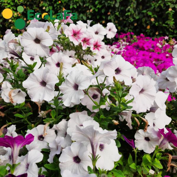 hoa dạ yến thảo màu trắng cánh đơn